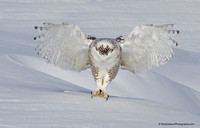 Snowy-Owl-Angel-Pose-Clone