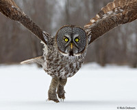 Great-Grey-Owl-lift-off