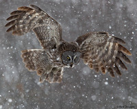 Great-Grey-Owl-in-snow-storm
