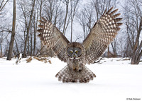 Great-Grey-Owl-WA