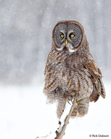 Great-Grey-Owl-II