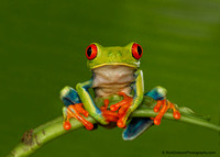 Tree-Frog-Red-eyed
