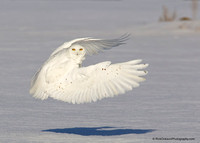 Snowy Owl Male lift off-Recovered