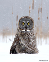 Great-Grey-Owl-in-Cat-Tails