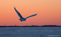 Snowy-Owl-and-Red-Sky