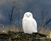 Snow White Snowy Owl
