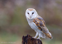 Barn Owl perched on tree stump