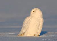 Snowy-Owl-Adult-Male-first-light